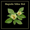 "<font color=""red"">DELIVERED AUGUST 2020</font> Magnolia x Brooklynensis Yellow Bird Tree Supplied height between 125 - 200cm in a 7 - 12 litre container. **FREE UK MAINLAND DELIVERY + FREE 100% TREE WARRANTY**"