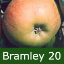 DELIVERED AUGUST 2021 (C3) Bare Root Bramley 20 Apple Tree delivered 1.5-2m tall, TRIPLOID + COOKING + HEAVY CROP + POPULAR + JUICING, **FREE UK MAINLAND DELIVERY + FREE 100% TREE WARRANTY**