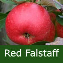 Red Falstaff(C3) Apple Tree  2-3 years old, delivered 1-2m tall, SELF FERTILE, POLLINATOR + NORTH UK + DISEASE RESISTANT + CONTAINER + JUICY + STORES WELL + HEAVY CROPS, **FREE UK MAINLAND DELIVERY + FREE 100% TREE WARRANTY**
