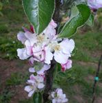 "<font color=""red"">DELIVERED AUGUST 2020</font> (C3) TRIPLOID Bramley Original Apple Tree, 2-3 years old, delivered 1-2m tall, 12L Pot, COOKING + POPULAR + JUICING + ORIGINAL APPLE TREE **FREE UK MAINLAND DELIVERY + FREE 100% TREE WARRANTY**"