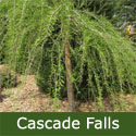 <font color=&quot;red&quot;>[DELIVERED 20th AUGUST 2015]</font> Weeping Cascade Falls (Taxodium Distichum Cascade Falls), WET + CLAY TOLERANT + ATTRACTIVE BARK + WEEPING + COLOURFUL AUTUMNAL FOLIAGE  1.50-2.00 m, 3-4  Years Old **FREE UK MAINLAND DELIVERY + FREE 100% TREE WARRANTY**