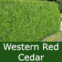 Western Red Cedar Tree (Thuja plicata) 20cm-40cm Trees , FAST GROWING + EVERGREEN + NOISE REDUCTION + SHADE TOLERANT **FREE UK MAINLAND DELIVERY + FREE 100% TREE WARRANTY**