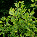 Aureomarginatum Tulip Tree (Liriodendron Tulipifera Aureomarginatum) Supplied 1.50-2.20 m supplied in a 7L container. INTERESTING LEAVES + AWARD + CHALK TOLERANT + ATTRACTS BEES **FREE UK MAINLAND DELIVERY + FREE 100% TREE WARRANTY**