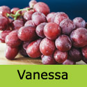 Vanessa Grape Vine, Eating, Red, Outdoor, SEEDLESS + NORTH UK + HARDY + POPULAR **FREE UK DELIVERY + FREE 3 YEAR LTD WARRANTY**