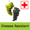 Vroge Van Der Lann disease resistant grape vine