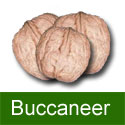 Walnut (Juglans) Buccaneer. SELF FERTILE,  GOOD NUTS FOR PICKLING, 2+ Years Old, 1-2 metres tall ***FREE UK MAINLAND DELIVERY + FREE 100% TREE WARRANTY***