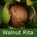 Walnut (Juglans) Rita, 2+ years old, 150 - 200cm tall, 7 - 20L container, HARDY, PRODUCTIVE, SEMI-SELF FERTILE ***FREE UK MAINLAND DELIVERY + FREE 100% TREE WARRANTY***