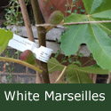 "<font color=""red"">DELIVERED AUGUST 2020</font> Fig (Ficus) White Marseilles, Height 100cm - 150cm in a 5-10L pot, GOOD HARDY OUTDOOR FIG + EARLY TO RIPEN + LARGE FIGS **FREE UK MAINLAND DELIVERY + FREE 100% TREE WARRANTY**"