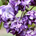 Wisteria Tree/Vine Floribunda Black Dragon (aka Violacea Plena). 4 Years old,  SCENTED + PATIO/BONSAI SUITABLE + LONG FLOWERS + LONG LIVED, Supplied 1.00-175cm, 3-7L Pot **FREE UK MAINLAND DELIVERY + 100% TREE WARRANTY**