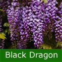 <font color=&quot;red&quot;>DELIVERED AUGUST 2018</font> Wisteria Tree/Vine Floribunda Black Dragon (aka Violacea Plena). 4 Years old,  SCENTED + PATIO/BONSAI SUITABLE + LONG FLOWERS + LONG LIVED, Supplied 1.00-175cm, 3-7L Pot **FREE UK MAINLAND DELIVERY + 100% TREE WARRANTY**