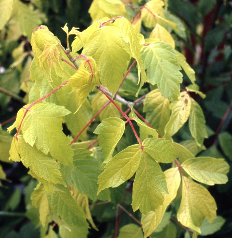 Box Elder Maple Tree (Acer negundo 'Kelly's Gold) Supplied height 1.5 to 1.7 metres in a 12 litre container **PRICE INCLUDES FREE UK MAINLAND DELIVERY**