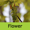 Acer Leopoldii Sycamore Tree, Height  180-240cm 5-20L Pot,  COAST + LARGE LEAVES + EXPOSED SITES + LOW MAINTENANCE **FREE UK MAINLAND DELIVERY + FREE 3 YEAR LTD TREE WARRANTY**