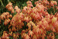 Japanese Maple Tree (Acer palmatum `Orange Dream`) Ht. 0.6-1.2m in 5-15L Container **PRICE INCLUDES FREE UK MAINLAND DELIVERY**