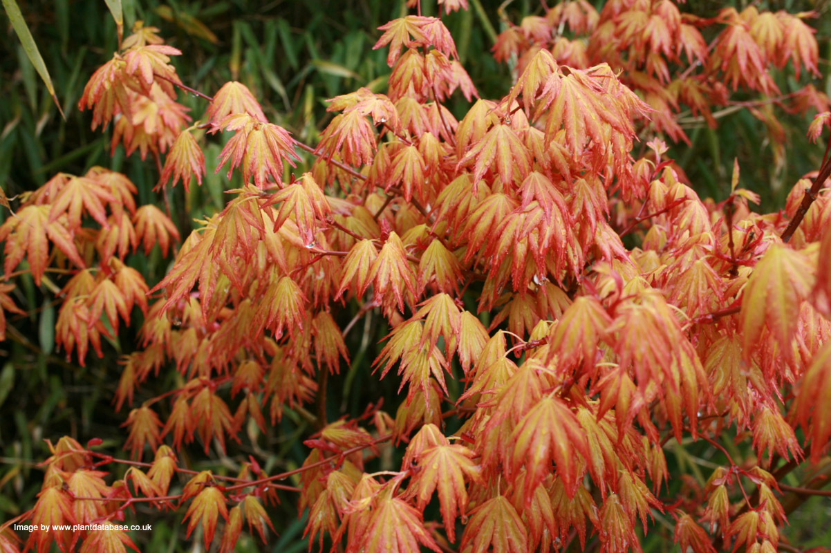 Buy Japanese Maple Tree Online Free Uk Delivery Free 3 Year