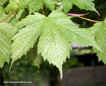 Brilliantissimum Sycamore Tree or Shrimp Leaved Sycamore. Supplied height 1.2 to 2.0m 7-12 litre container **PRICE INCLUDES FREE UK MAINLAND DELIVERY**