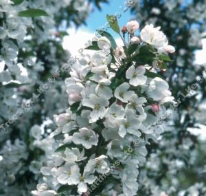 Admiration Crab Apple Tree (Malus 'Admiration') Supplied height 1.5 - 2.00m in a 7-12 litre container **FREE UK MAINLAND DELIVERY + FREE 100% TREE WARRANTY**