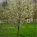 Robin Hill Snowy Mespilus Tree (Amelanchier x grandifolia 'Robin Hill') Supplied height 1.2 to 1.7 metres in a 5-10 litre container **FREE UK MAINLAND DELIVERY EX