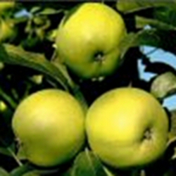 Keswick Codlin Apple Tree (C1) SELF FERTILE + EATING AND COOKING + NORTH UK + LARGE CROP,  2-3 years old, delivered 1-2m tall, **FREE UK MAINLAND DELIVERY + FREE 100% TREE WARRANTY**