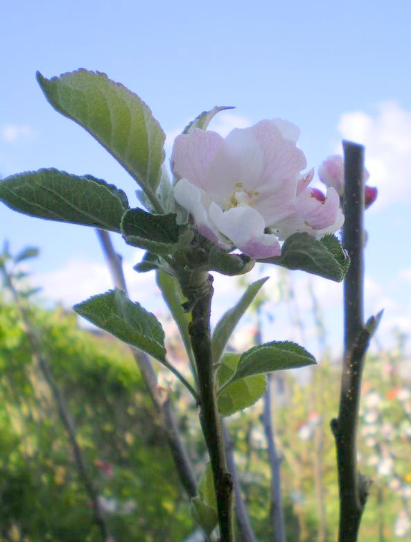 Apple is in flowering period is c4 and so needs another apple tree