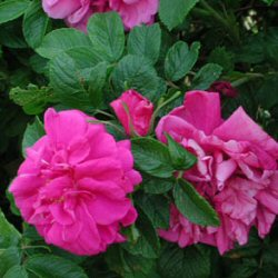 Apple Rose - pink flowered (Rosa rugosa) 20-40cm **FREE UK MAINLAND DELIVERY + FREE 100% TREE WARRANTY**