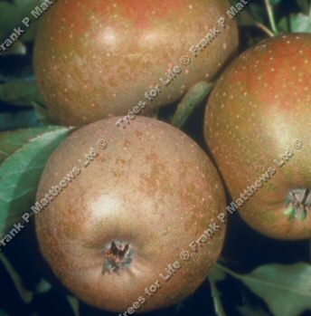 Ashmeads Kernel Apple Tree,(C4), INTENSE FLAVOUR + FIRM Supplied Height 1.25m-2.00m , 2-3 Years Old, 12L pot, *** FREE UK MAINLAND DELIVERY + 100% TREE WARRANTY ***