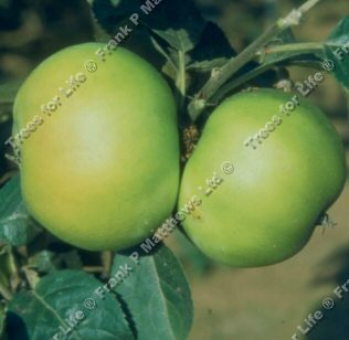 Bountiful Apple Tree (C2)  DISEASE RESISTANT + CRISP + LARGE CROP + NORTH UK **FREE UK MAINLAND DELIVERY + FREE 100% TREE WARRANTY**