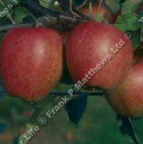 (C4) Braeburn Apple Tree SELF FERTILE + CRISP + FIRM + AROMATIC FRUIT, 2-3 years old, delivered 1.5-2m tall, **FREE UK MAINLAND DELIVERY + FREE 100% TREE WARRANTY**