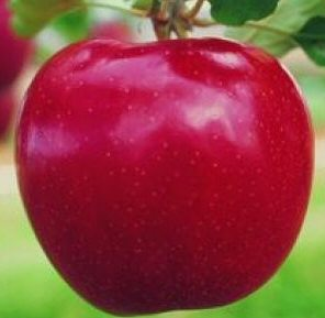 Devonshire Quarrenden Apple Tree (C1) STRONG FLAVOUR + DARK RED SKIN, 2-3 years old, delivered 1-2m tall, **FREE UK MAINLAND DELIVERY + FREE 100% TREE WARRANTY**