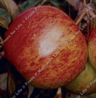 <font color=&quot;red&quot;>DELIVERED AUGUST 2019</font> Ellisons Orange Apple Tree (C4) SELF FERTILE + SCAB RESISTANT + ANISEED TASTE + RED, 2-3 years old, delivered 1-2m tall, **FREE UK MAINLAND DELIVERY + FREE 100% TREE WARRANTY**
