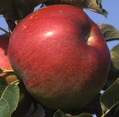 <font color=&quot;red&quot;>DELIVERED AUGUST 2017</font> Jumbo Apple Tree (C3) TRIPLOID + EATING + COOKING + DISEASE RESISTANT,  1-3 years old, delivered 1-2m tall, **FREE UK MAINLAND DELIVERY + FREE 100% TREE WARRANTY**