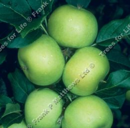 Limelight Apple Tree (C3) DISEASE RESISTANT + LARGE CROP,  1-3 years old, delivered 1-2m tall, **FREE UK MAINLAND DELIVERY + FREE 100% TREE WARRANTY**