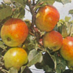 Newton Wonder Apple Tree (C5) EATING AND COOKING + STORES WELL + JUICING + WON AWARDS, **FREE UK MAINLAND DELIVERY + FREE 100% TREE WARRANTY**