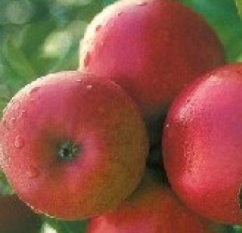 Red Windsor Apple Tree (C2) SELF FERTILE + HEAVY CROP + COMPACT SHAPE + DISEASE RESISTANT + NORTH UK + PATIO + JUICING + GOOD POLLINATOR,  1-3 years old, delivered 1-2m tall, **FREE UK MAINLAND DELIVERY + FREE 100% TREE WARRANTY**