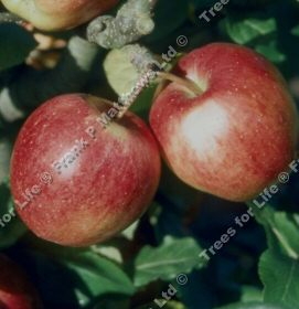 <font color=&quot;red&quot;>DELIVERED AUGUST 2019</font> Saturn Apple Tree (C3) SELF FERTILE + LARGE CROPS + JUICY + CRISP + GOOD POLLINATOR + NORTH UK + DISEASE RESISTANT,  1-3 years old, delivered 1-2m tall, **FREE UK MAINLAND DELIVERY + FREE 100% TREE WARRANTY**