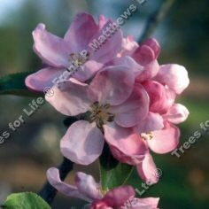 Scotch Dumpling Apple Tree (Malus domestica 'Scotch Dumpling') A range of rootstocks available in 12 litre containers **FREE UK MAINLAND DELIVERY + FREE 100% TREE WARRANTY**