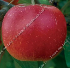<font color=&quot;red&quot;>DELIVERED AUGUST 2019</font> Sweet Society Apple Tree (Malus domestica 'Sweet Society') A range of rootstocks available in 12 litre containers **FREE UK MAINLAND DELIVERY + FREE 100% TREE WARRANTY**