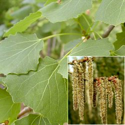 Aspen Tree (Populus tremula) 20-40cm Trees**FREE UK MAINLAND DELIVERY + FREE 100% TREE WARRANTY**