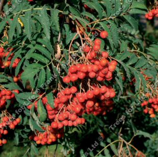 Asplenifolia Mountain Ash or Rowan Tree (Sorbus aucuparia 'Asplenifolia') Supplied height 1.5 - 2.4m in a 7-12 litre container **FREE UK MAINLAND DELIVERY + FREE 100% TREE WARRANTY**