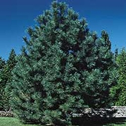 <font color=&quot;red&quot;>[DELIVERED 20th AUGUST 2015]</font> Austrian Pine Tree (Pinus nigra austriaca) 15-30cm Trees**FREE UK MAINLAND DELIVERY + FREE 100% TREE WARRANTY**