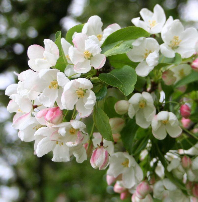 Siberian or Baccata Crab Apple Tree (Malus 'Baccata') Supplied height 150 - 200cm in a 7 - 12 litre container **FREE UK MAINLAND DELIVERY + FREE 100% TREE WARRANTY**