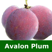 C2 (PARTIALLY SELF FERTILE) BARE ROOT Avalon Plum 1-2m tall, Fruits Aug LARGE FRUITS + STRONG GROWING **FREE UK MAINLAND DELIVERY + FREE 100% TREE WARRANTY**