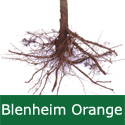 C3 (TRIPLOID) BARE ROOT Blenheim Orange Eating + Cooking Apple, TRIPLOID,  1-2m Tall, Fruits October, KEEPS WELL + CONTAINER + AWARD **FREE UK MAINLAND DELIVERY + FREE 100% TREE WARRANTY**
