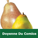 C4 BARE ROOT Doyenne Du Comice Pear, Eating, 1-2m Tall, Fruits October JUICY + SWEET + VIGOROUS + HEAVY CROP **FREE UK MAINLAND DELIVERY + FREE 100% TREE WARRANTY**