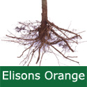 C4 (SELF FERTILE) BARE ROOT Ellisons Orange Eating Apple, 1-2m tall, Fruits September,SCAB RESISTANT, ANISEED FLAVOUR, FROST TOLERANT  **FREE UK MAINLAND DELIVERY + FREE 100% TREE WARRANTY**