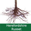 C3 (PARTIALLY SELF-FERTILE) BARE ROOT Herefordshire Russet Eating Apple, 1-2 m Tall, Fruits October, LARGE HARVEST + EXCELLENT EATING + JUICING **FREE UK MAINLAND DELIVERY + FREE 100% TREE WARRANTY**