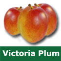C3 (SELF FERTILE) BARE ROOT Victoria Plum Eating/Cooking 1-2m tall, Fruits August, FREESTONE + LARGE REGULAR HARVEST + MOST POPULAR **FREE UK MAINLAND DELIVERY + FREE 100% TREE WARRANTY**