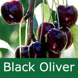 C Bare Root Black Oliver Eating Cherry Tree, LARGE FRUITS + SOFT + JUICY + VIGOROUS + UPRIGHT TREE + PICK EARLY AUGUST **FREE UK MAINLAND DELIVERY + FREE 100% TREE WARRANTY**
