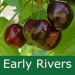 Bare Root Early Rivers Eating Cherry Tree, Delivered 1.5-2m,  LARGE + DARK + EARLY RIPEN + PICK EARLY JULY  **FREE UK MAINLAND DELIVERY + FREE 100% TREE WARRANTY**