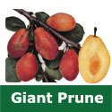 C3 (SELF FERTILE) BARE ROOT Eating Giant Prune Plum Tree 1-2m tall, Fruits September, LARGE FRUIT HARVEST + FROST RESISTANT + TOUGH **FREE UK MAINLAND DELIVERY + FREE 100% TREE WARRANTY**
