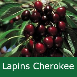 SELF FERTILE (GROUP B) Bare Root Lapins Cherokee Cherry Tree, 1-2 metres tall, 1-2 years old,  (EATING + FRUIT IN JULY + RELIABLE + LARGE FRUIT) **FREE UK MAINLAND DELIVERY + FREE 100% TREE WARRANTY**